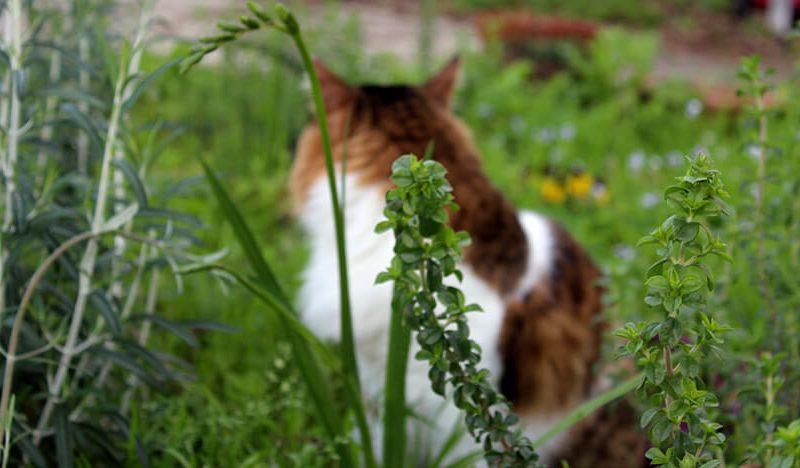 גינת בר חתול וציטרה